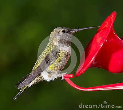 Free Ruby Throated Hummingbird (female) Sitting At Feeder Stock Image - 75883911
