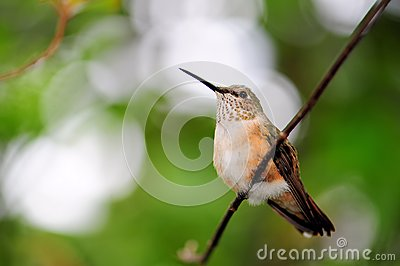 Ruby-throated hummingbird (horizontal)