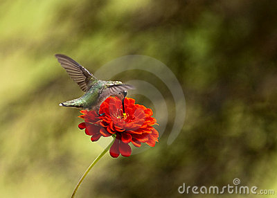 Ruby Throated Hummingbird hovering by Red Zinnia