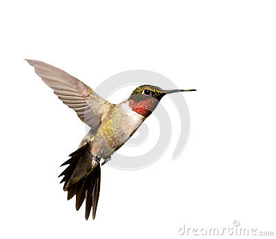 Ruby-throated Hummingbird male in flight