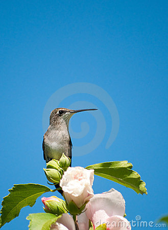 Ruby-throated Hummingbird resting on a flower