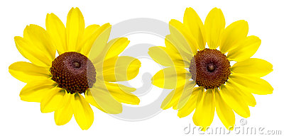 Rudbeckia on a white background