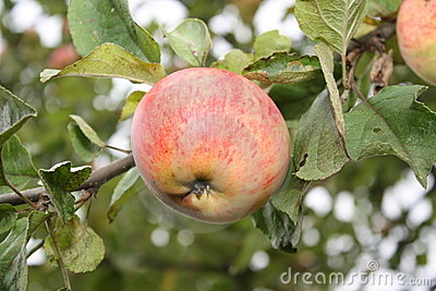 Ruddy apple.
