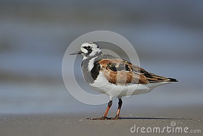 Ruddy Turnstone ( Arenaria Interpres )
