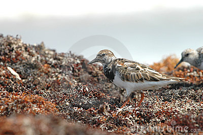 Ruddy Turnstone Bird