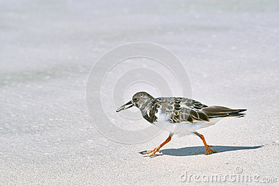 Ruddy turnstone bird walking on the sandy beach