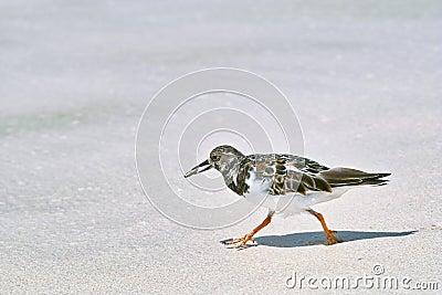 Ruddy turnstone bird walking on the sandy beach