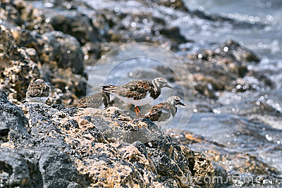 Ruddy turnstone birds sitting on the shore stones