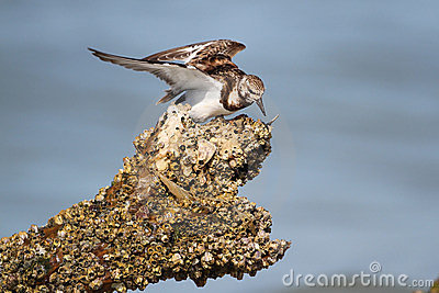 Ruddy Turnstone Feeding on a Barnacle-Covered Log