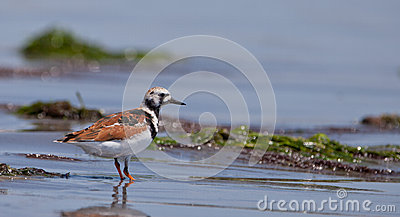 Ruddy Turnstone at shore