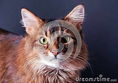 Rudy somali cat portrait