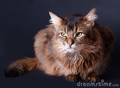 Rudy somali cat portrait