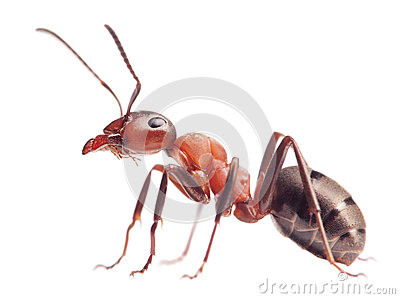 Rufa de formica de fourmi sur le blanc