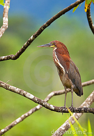 The Rufescent Tiger-Heron