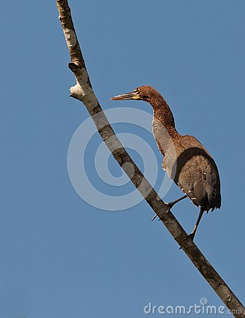 Rufescent Tiger Heron perching on branch