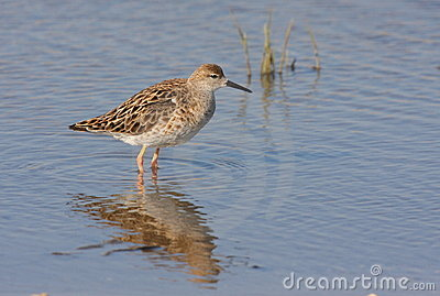 Ruff female