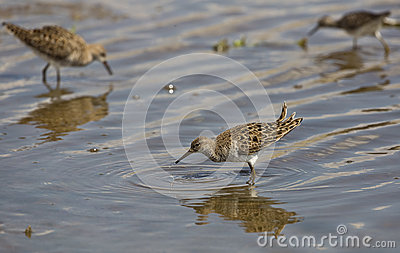 Ruff (Philomachus pugnax) with Dripping Water