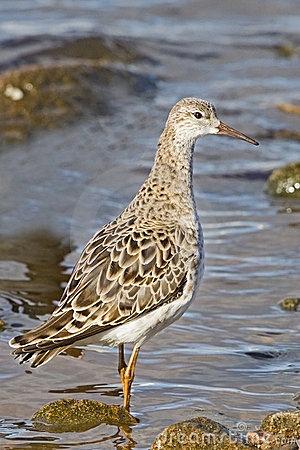 A Ruff (Philomachus pugnax) in winter plumage