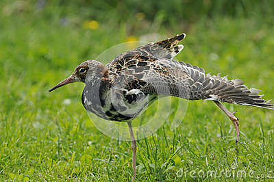 Ruff wing stretching