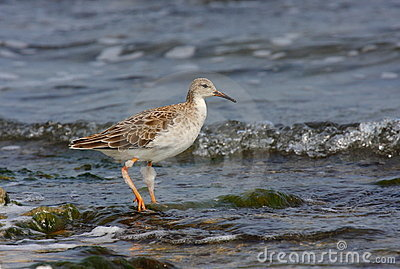 Ruff with winter plumage