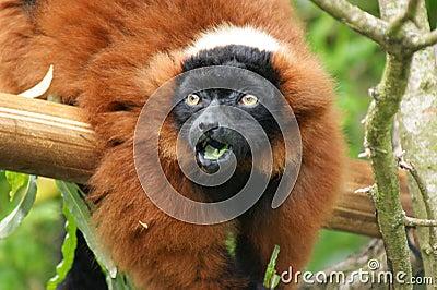 惊奇的Ruffed狐猴