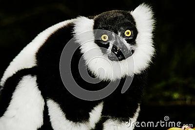 Ruffled Lemur (Varecia Variegata)