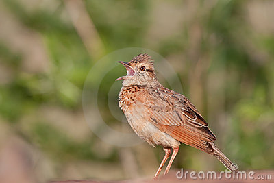 Rufious-naped Lark