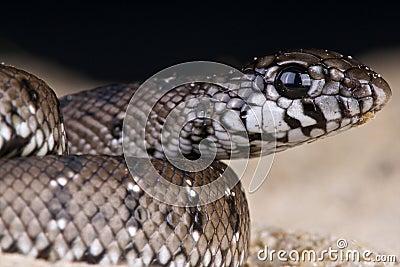 Rufous beaked snake