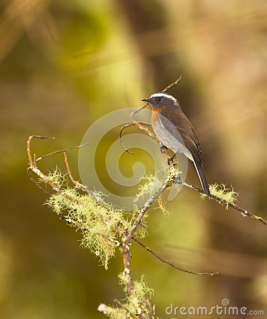 A Rufous-breasted Chat-tyrant Royalty Free Stock Photo - Image: 19872065
