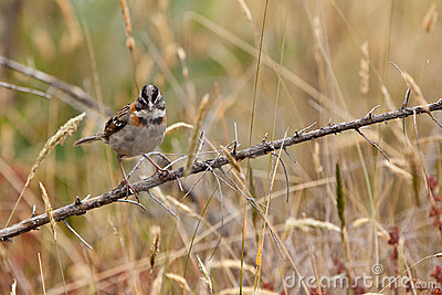 Rufous-collared sparrow bird sitting on a branch