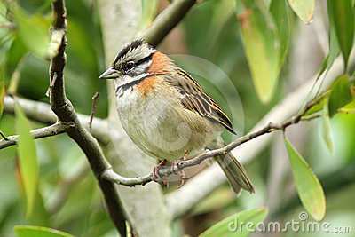 Rufous-collared Sparrow, Zonotrichia capensis