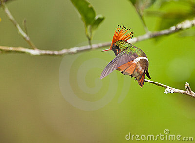 The Rufous-crested Coquette