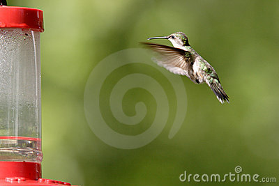 A rufous hummingbird hovers toward the feeder.