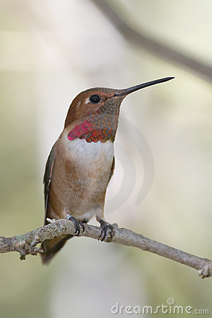 Rufous Hummingbird looking out
