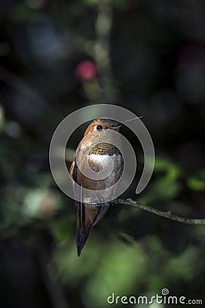 Rufous Kolibri (Selasphorus rufus)