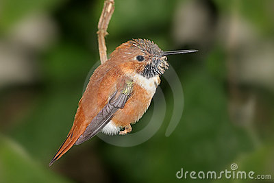 Rufous Kolibrie (rufus Selasphorus)