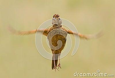 Rufous naped lark