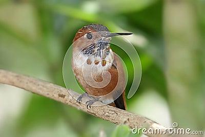 Rufous rufusselasphorus för hummingbird
