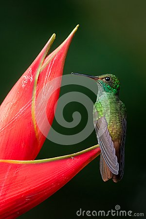 Free Rufous-tailed Hummingbird Royalty Free Stock Photography - 103429707