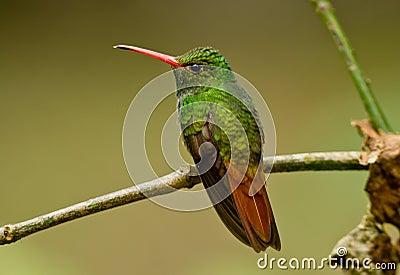 Rufous-tailed Hummingbird, Amazilia tzcatl