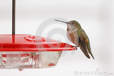 Rufus蜂鸟外形
