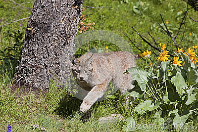 Rufus canadien de lynx
