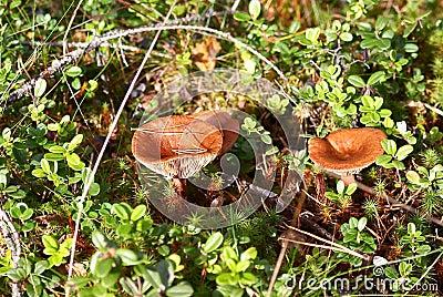 Rufus de Lactarius de champignons de couche
