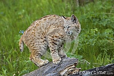Rufus de lynx de chat sauvage