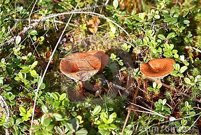 Rufus del Lactarius dei funghi