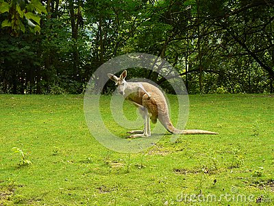 Rufus för kängurumacropusred