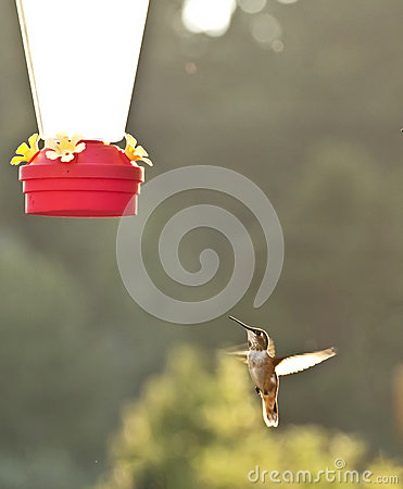 Rufus Hummingbird At Flying At Feeder