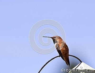 Rufus Hummingbird Sitting On Wire maschio