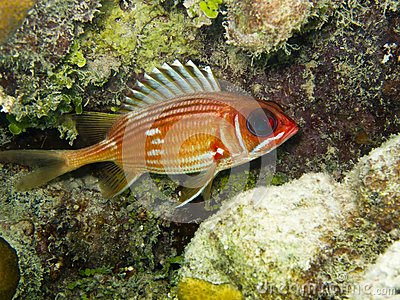 Rufus longspine holocentrus squirrelfish