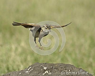 Rufus-naped Lark (Mirafra africana)